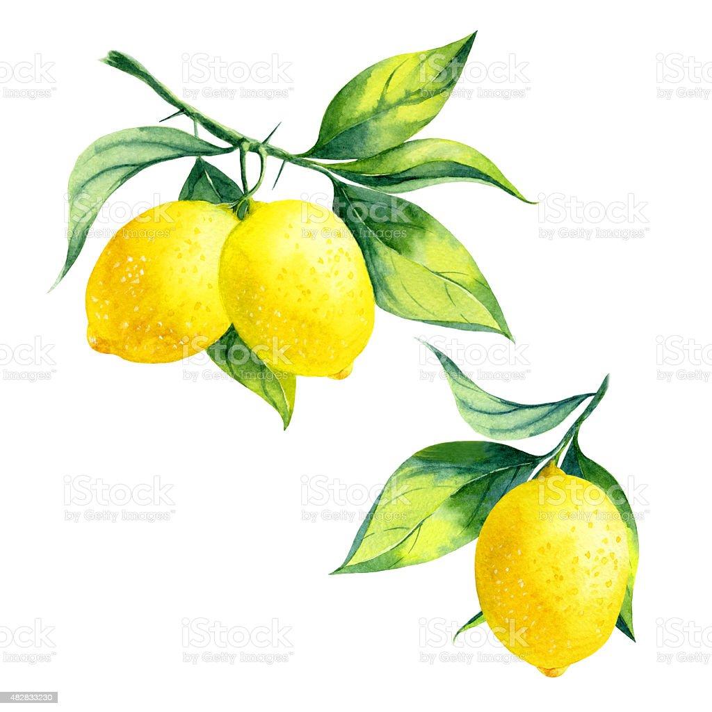 Watercolor lemon branch vector art illustration