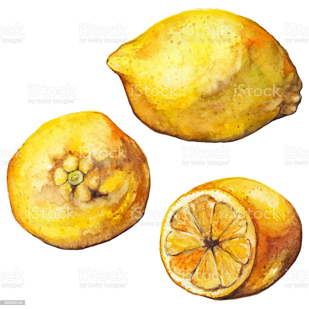 Watercolor lemon citrus yellow exotic fruit isolated vector art illustration
