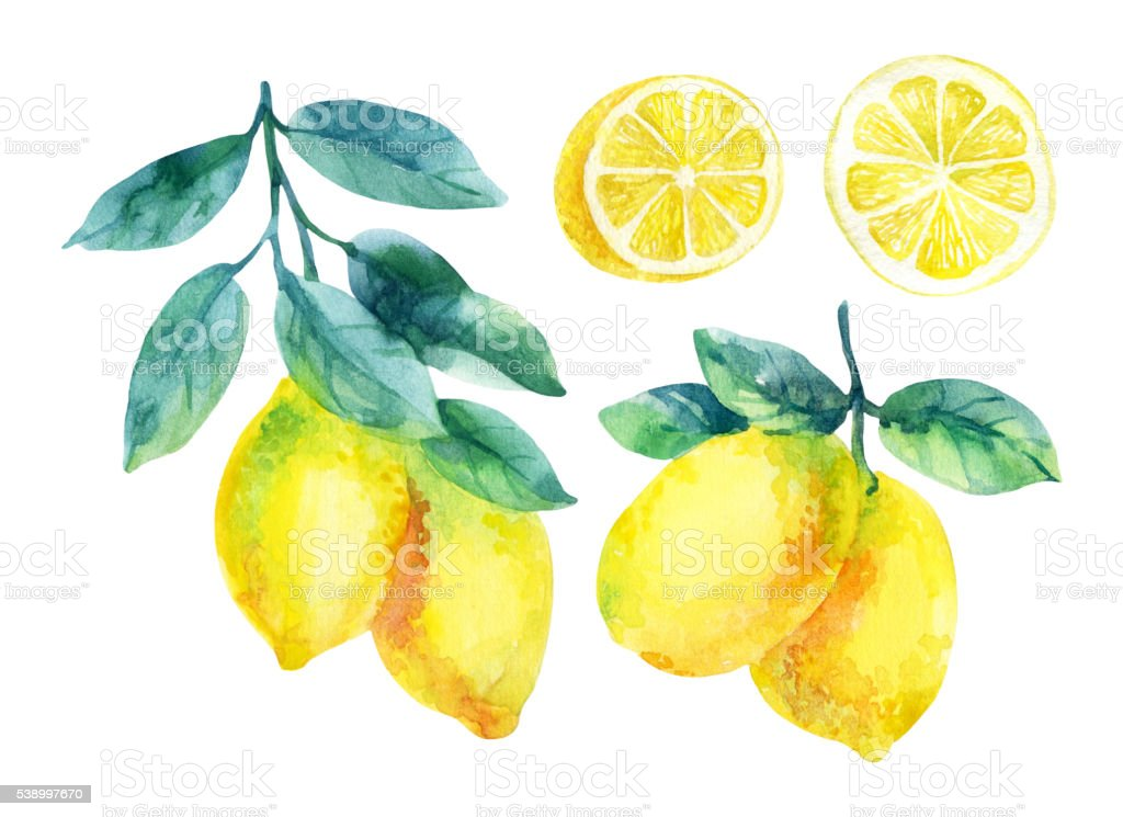 Watercolor lemon fruit branch with leaves isolated on white vector art illustration
