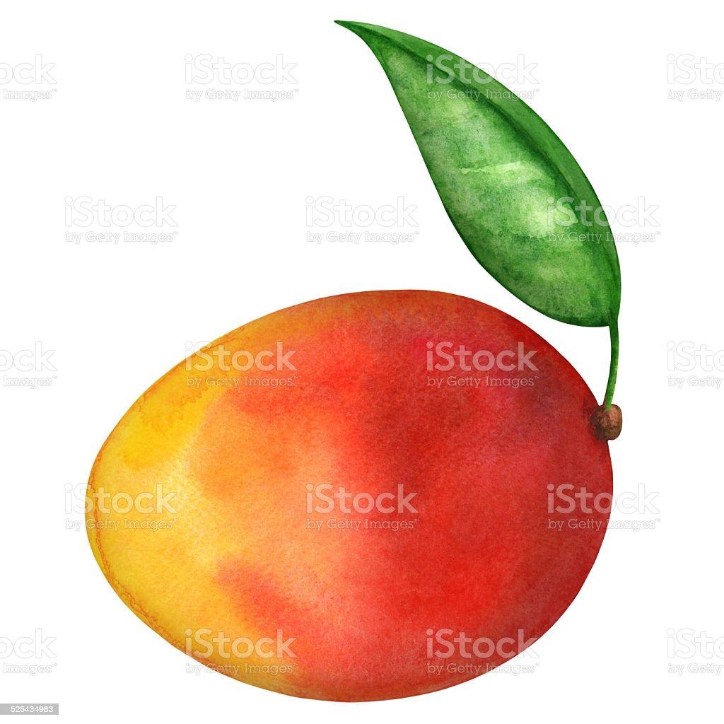 Watercolor mango fruit and leaf vector art illustration