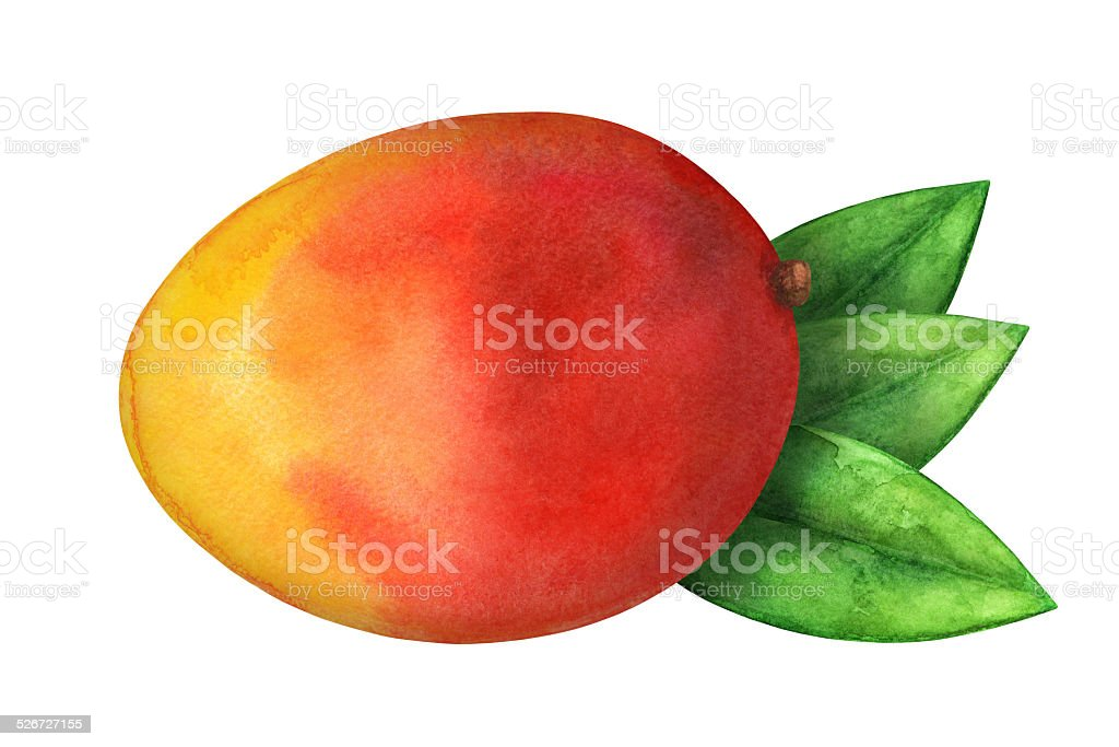 Watercolor mango fruit whole and leafs closeup isolated vector art illustration
