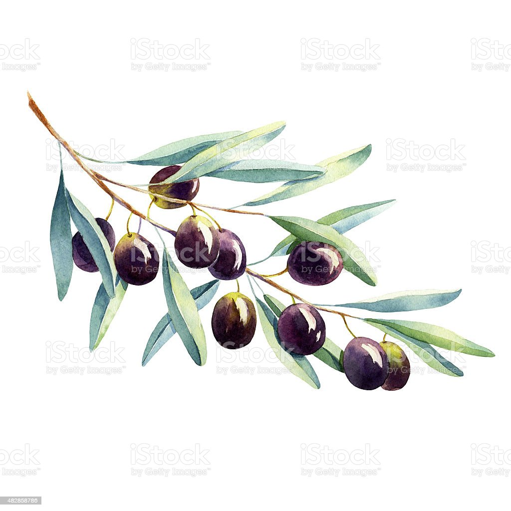 watercolor olive branch on white background vector art illustration