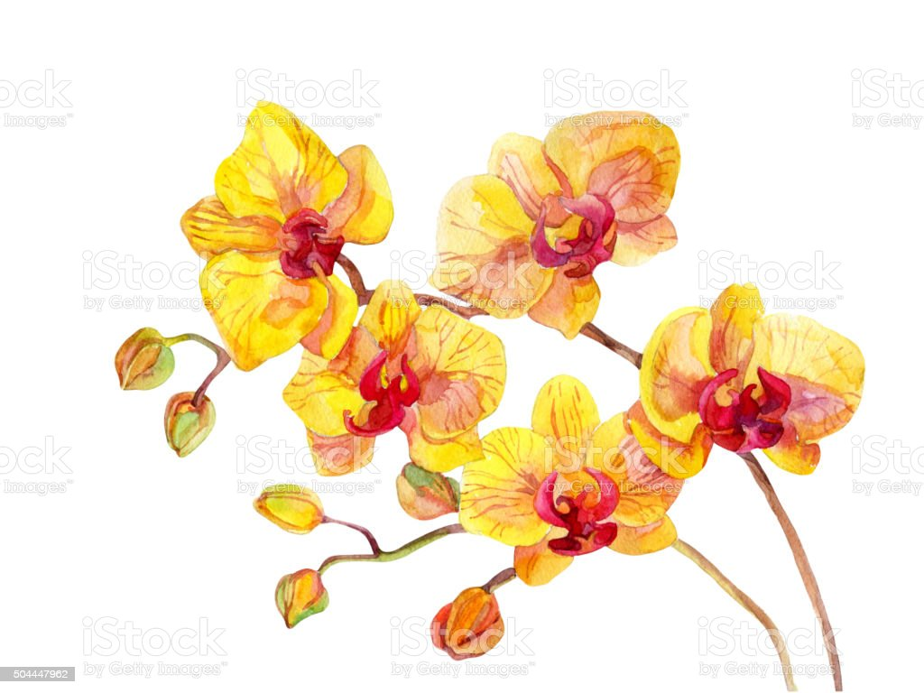 Watercolor orchid flowers vector art illustration