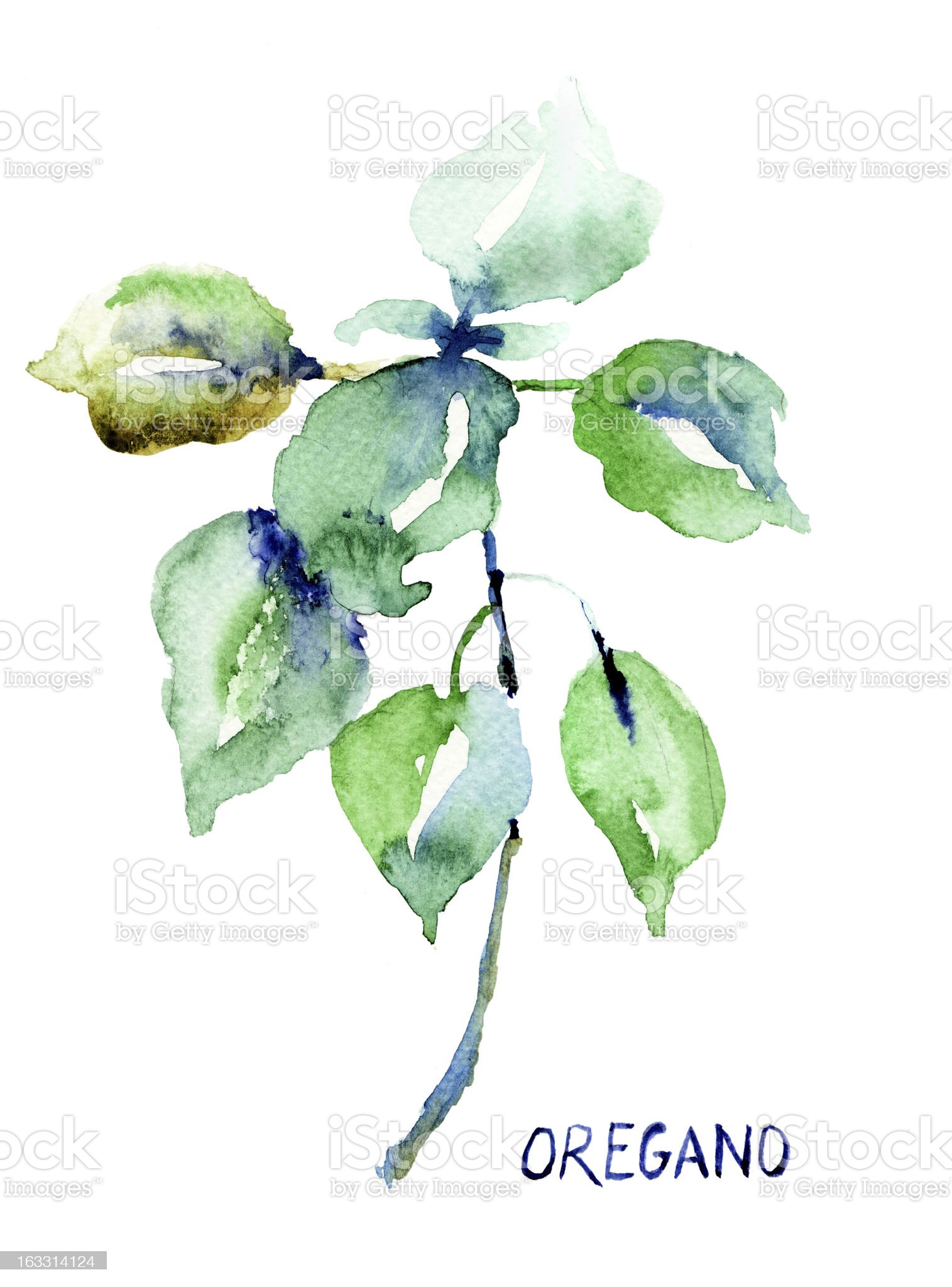 Watercolor oregano plant painting on white background royalty-free stock vector art