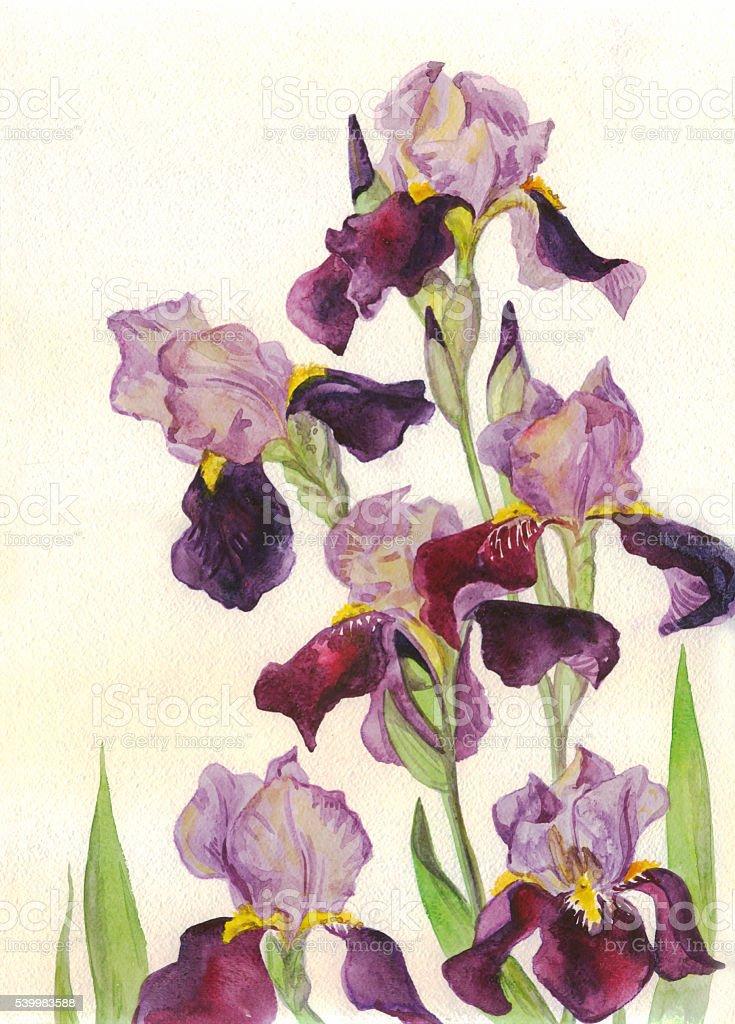 Watercolor painting. Irises purple flowers vector art illustration