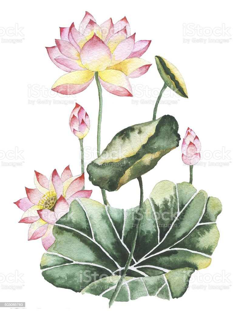 Watercolor painting of Lotus flowers. vector art illustration