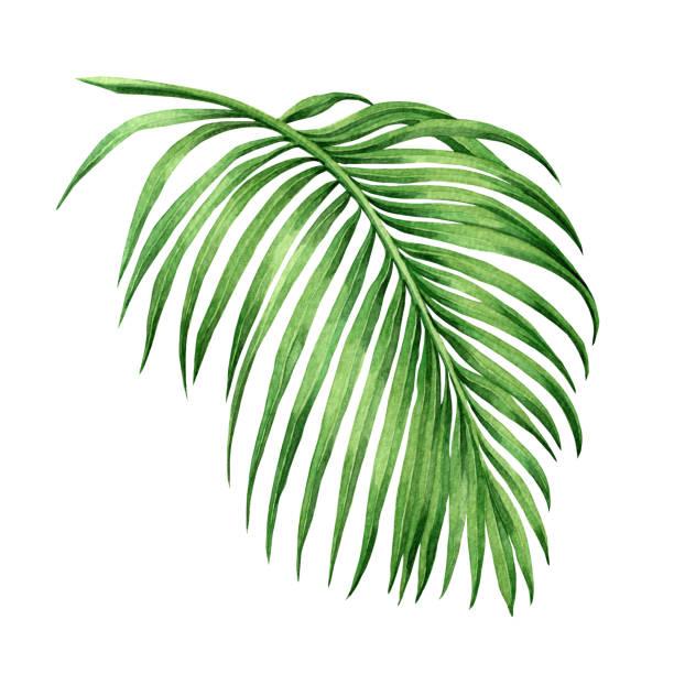 Palm Leaf Clip Art, Vector Images & Illustrations - iStock