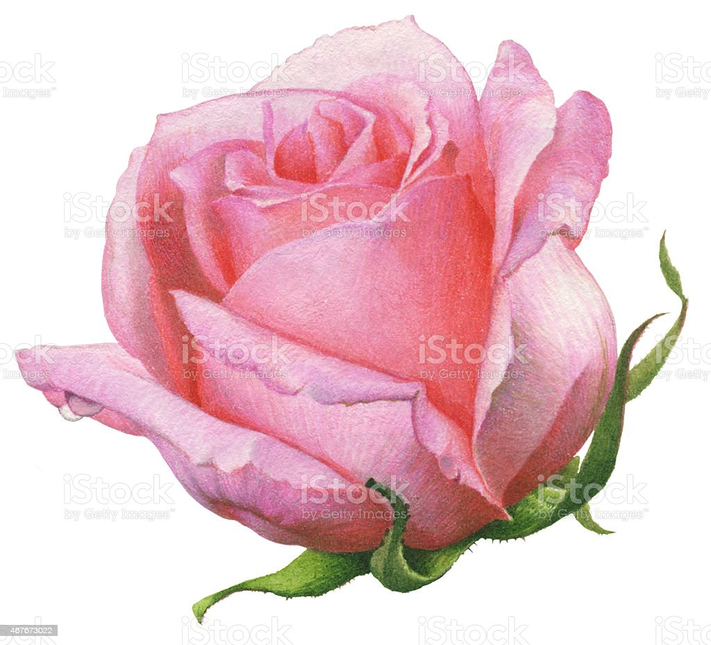 Watercolor Painting. Pink Rose. vector art illustration