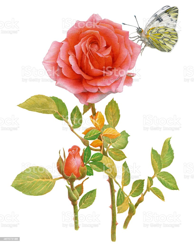 Watercolor Painting. Red Rose and Butterfly. vector art illustration