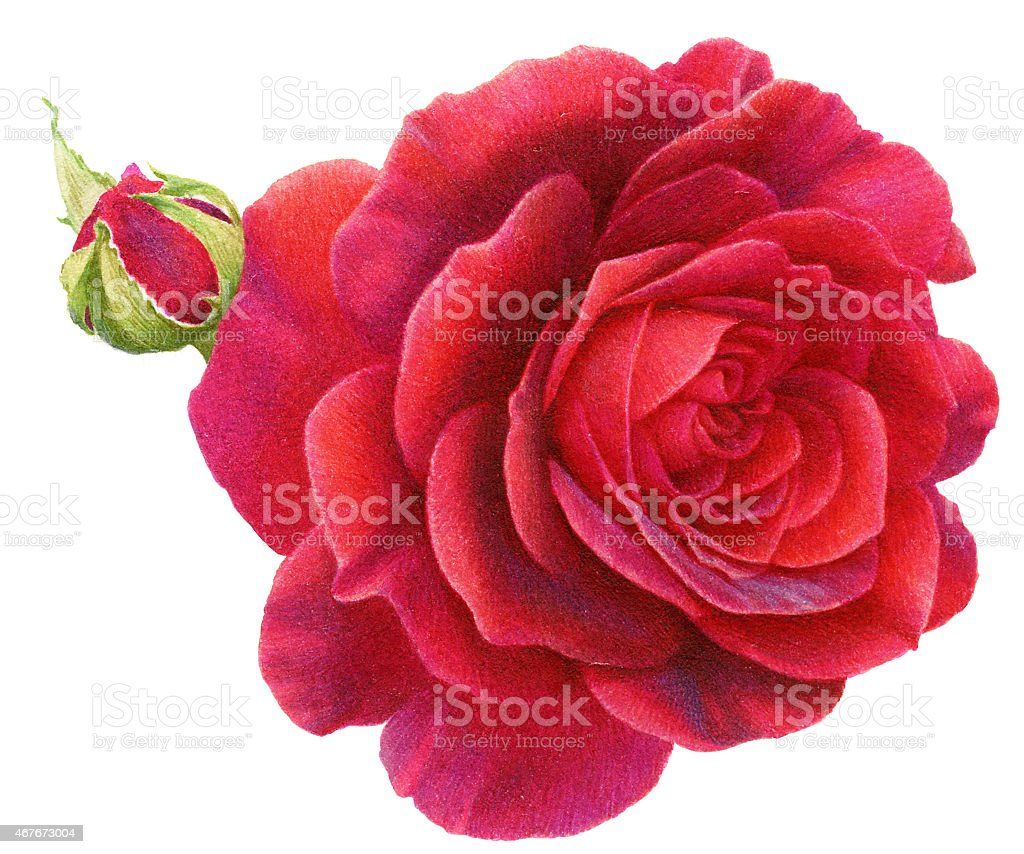 Watercolor Painting Roses vector art illustration
