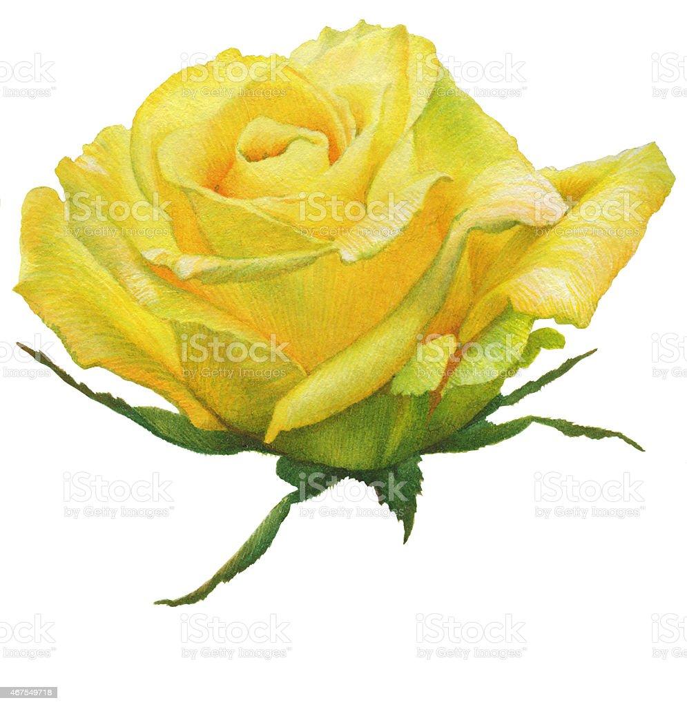 Watercolor Painting Yellow Rose vector art illustration