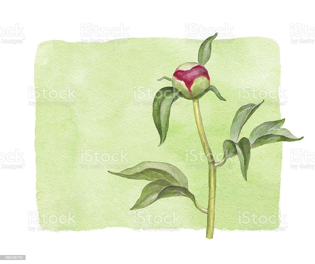 Watercolor peony flower vector art illustration
