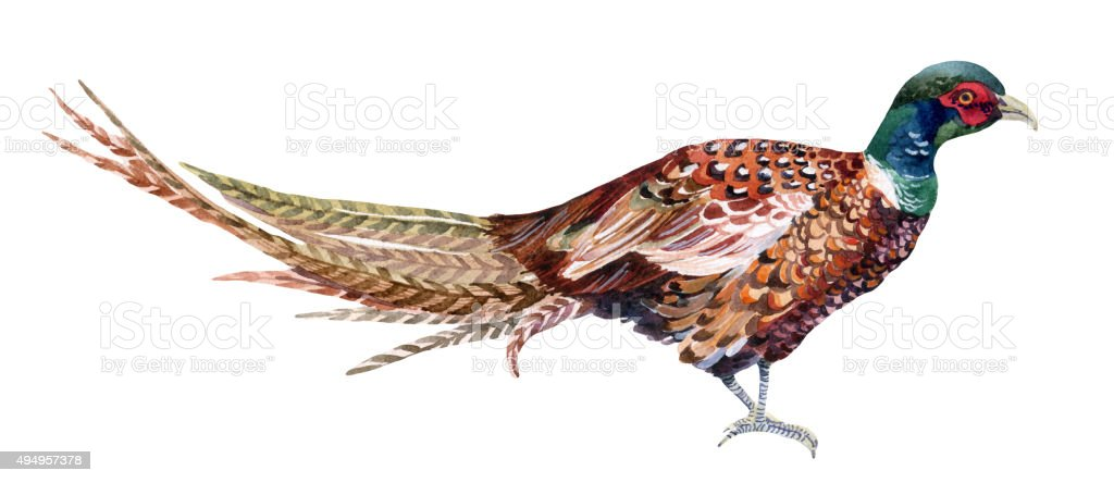 Watercolor pheasant. vector art illustration