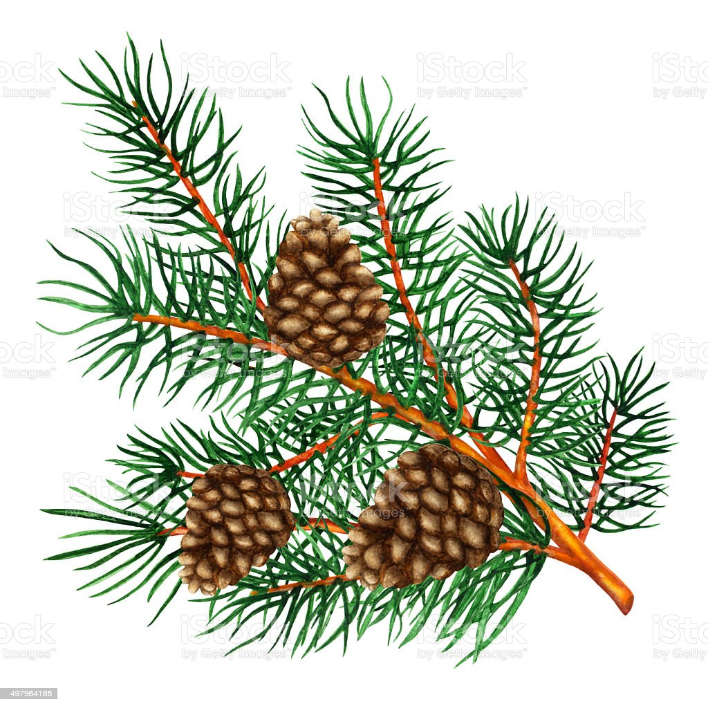 Watercolor pine tree branch with cones vector art illustration
