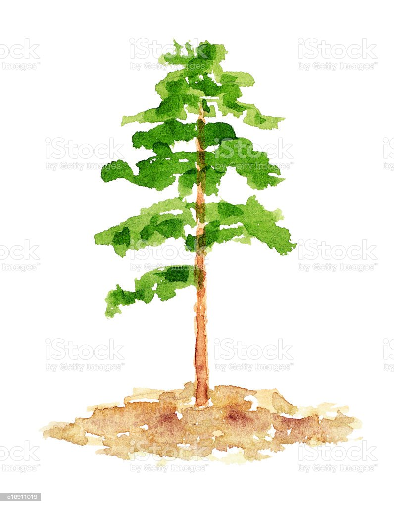 watercolor pine tree hand drawn and painted stock vector art