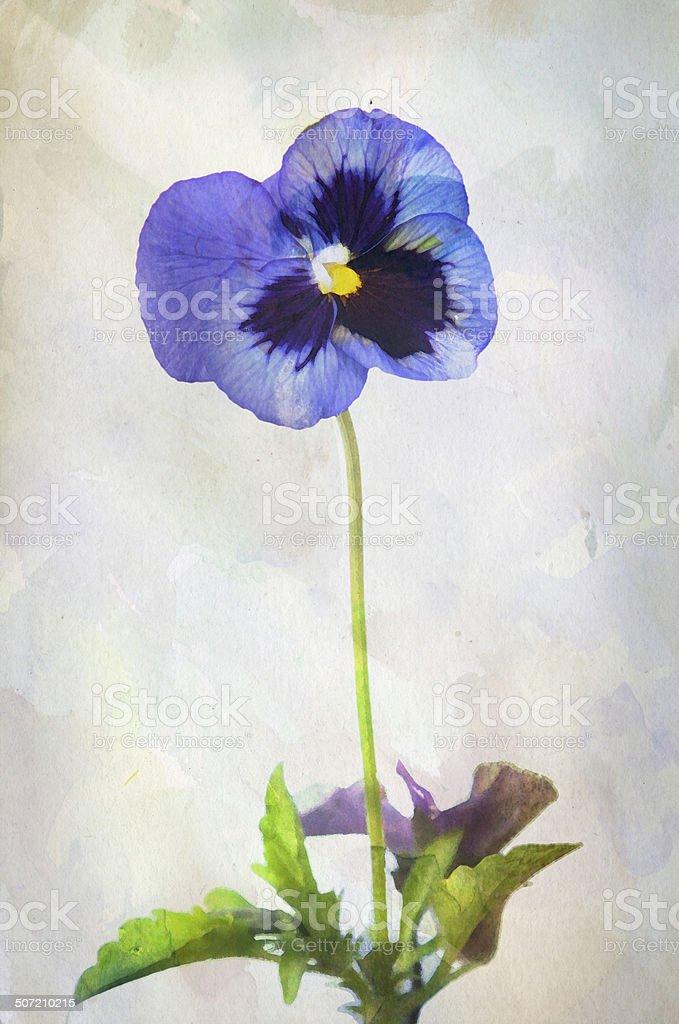 Watercolor purple pansy royalty-free stock vector art