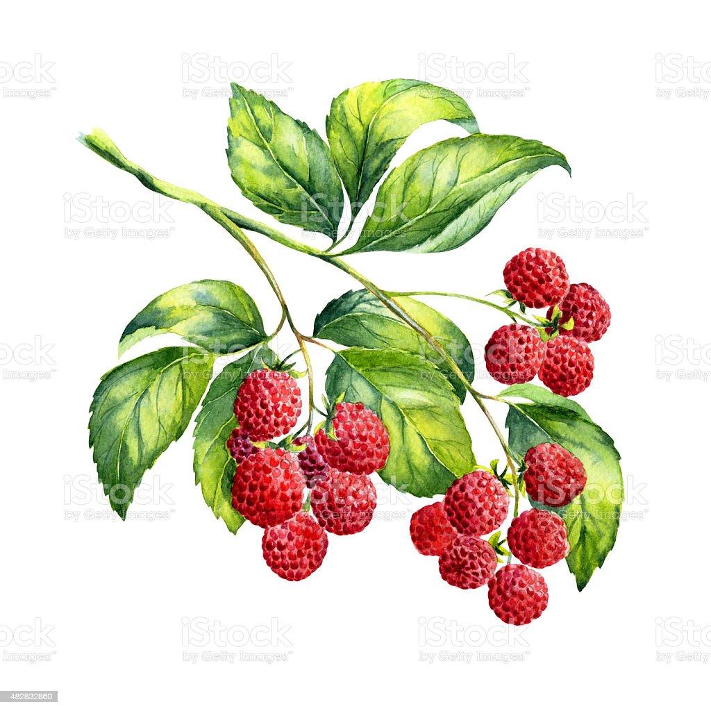 Watercolor raspberries branch on white background vector art illustration