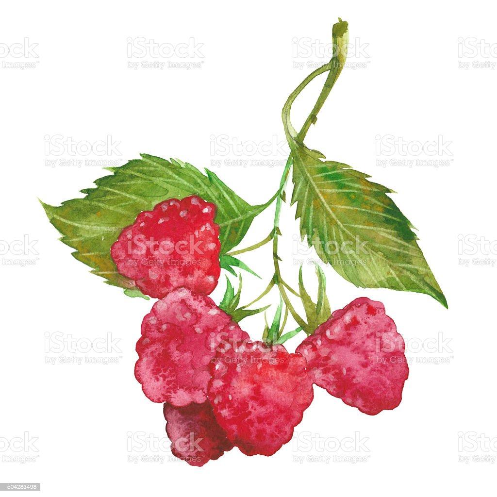 watercolor red raspberry vector art illustration