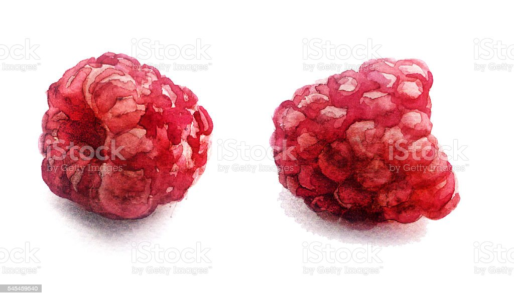 watercolor sketch: fresh raspberry on a white background vector art illustration