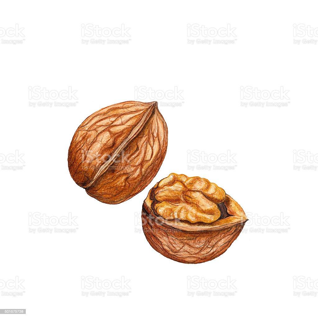 Watercolor walnut vector art illustration