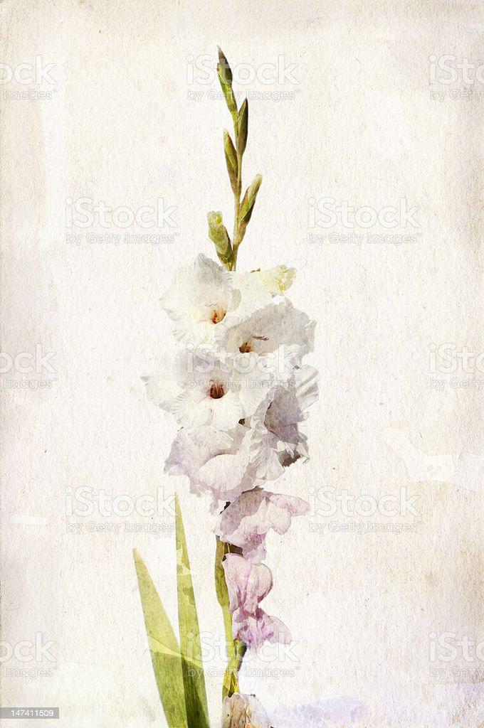 Watercolor white gladiolus vector art illustration