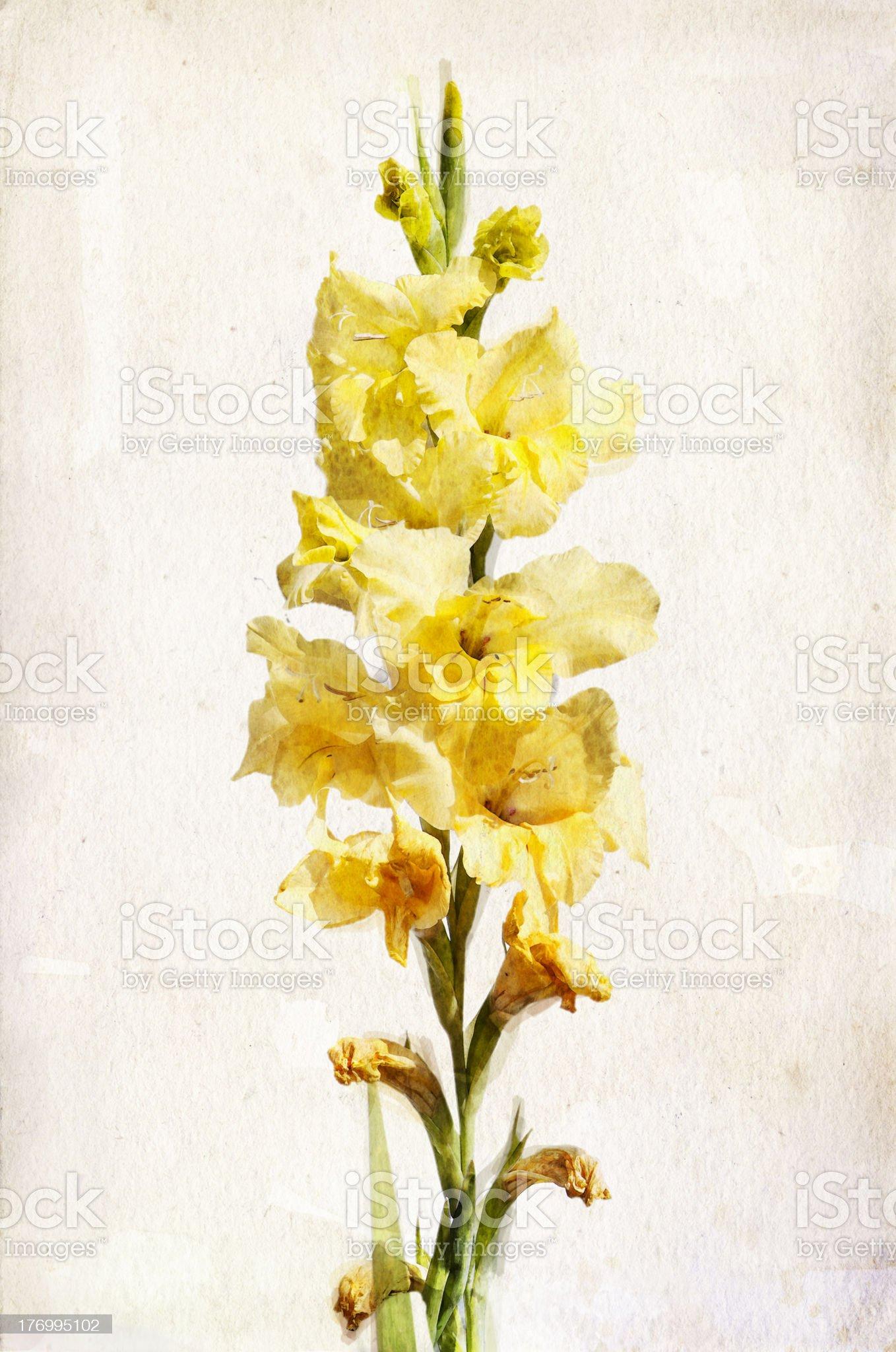 Watercolor yellow gladiolus royalty-free stock vector art