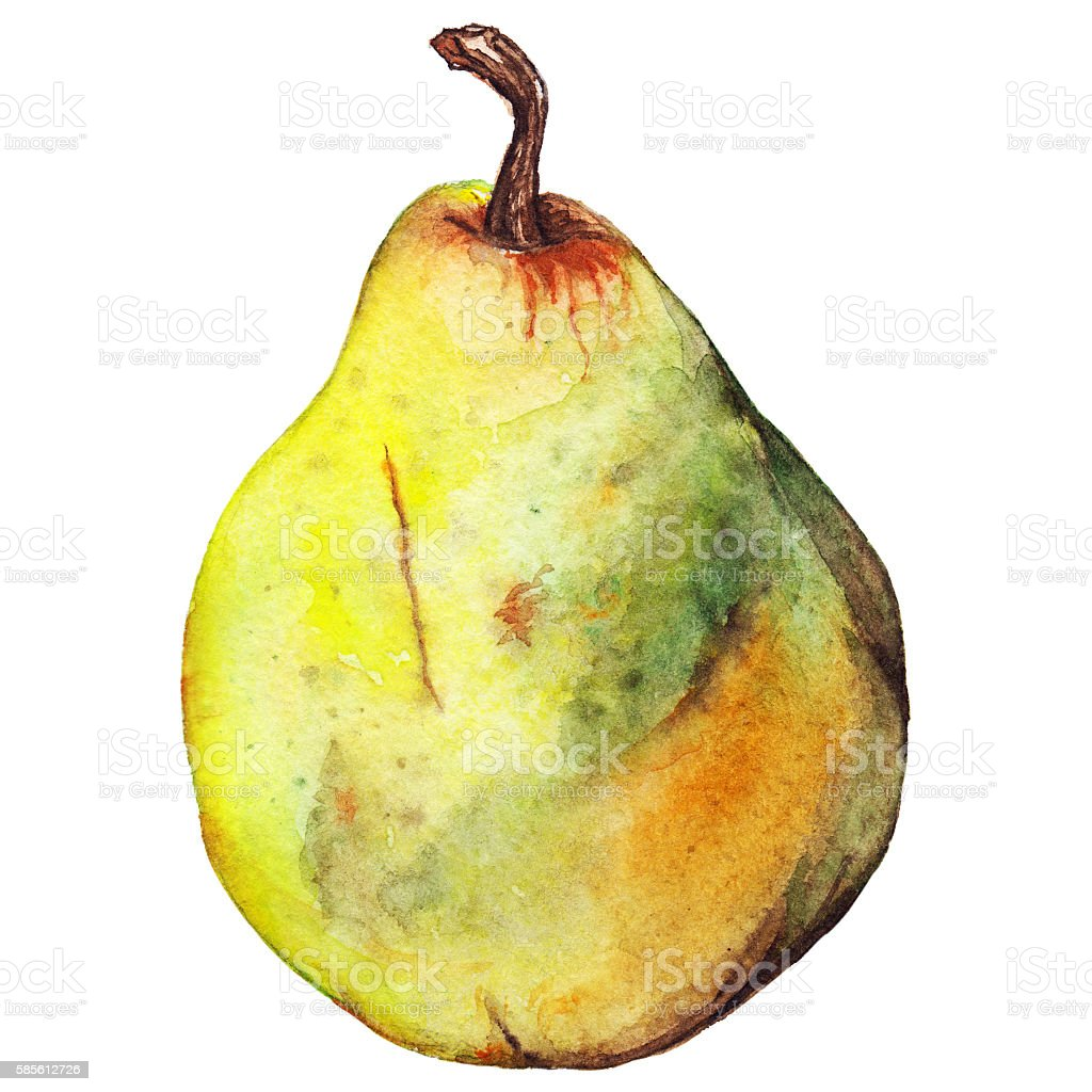 Watercolor yellow green pear ripe fruit isolated vector art illustration