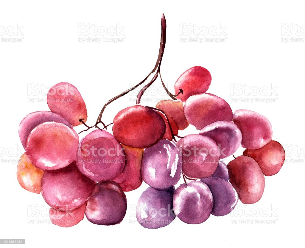 Watercolour drawing of red grapes on white background vector art illustration