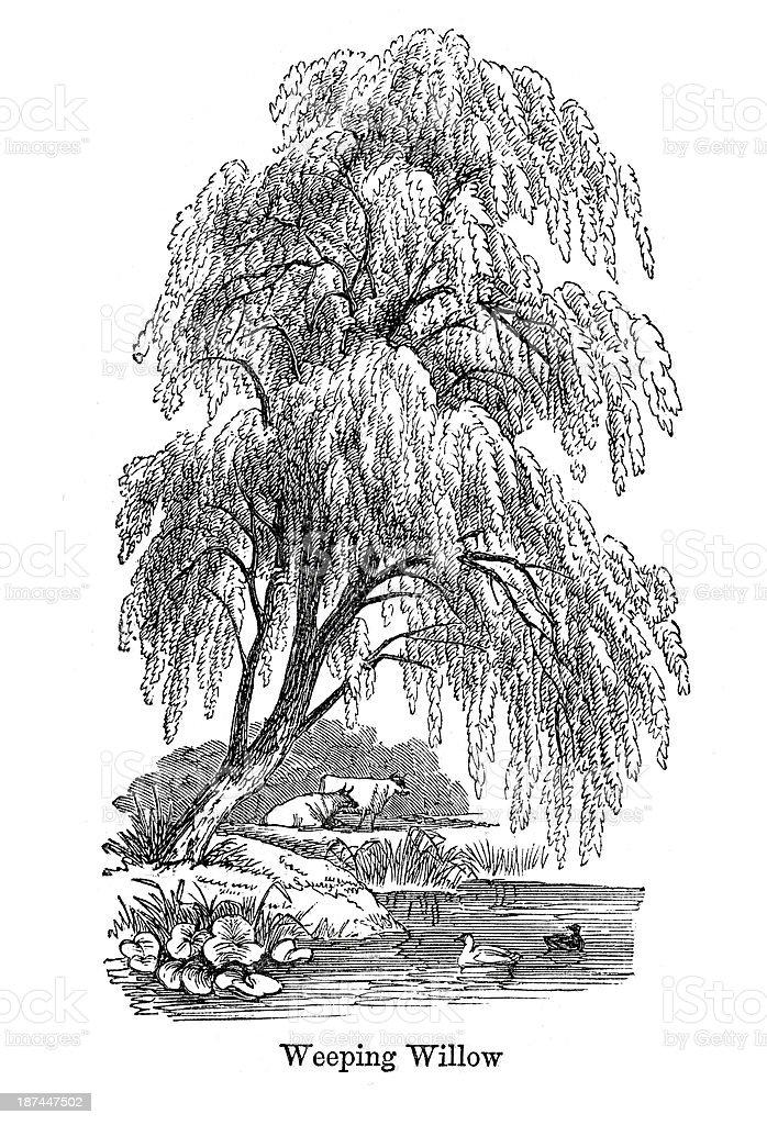 Weeping Willow Tree vector art illustration