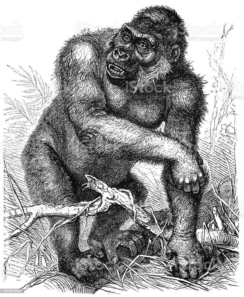 Western gorilla (Gorilla gorilla) vector art illustration