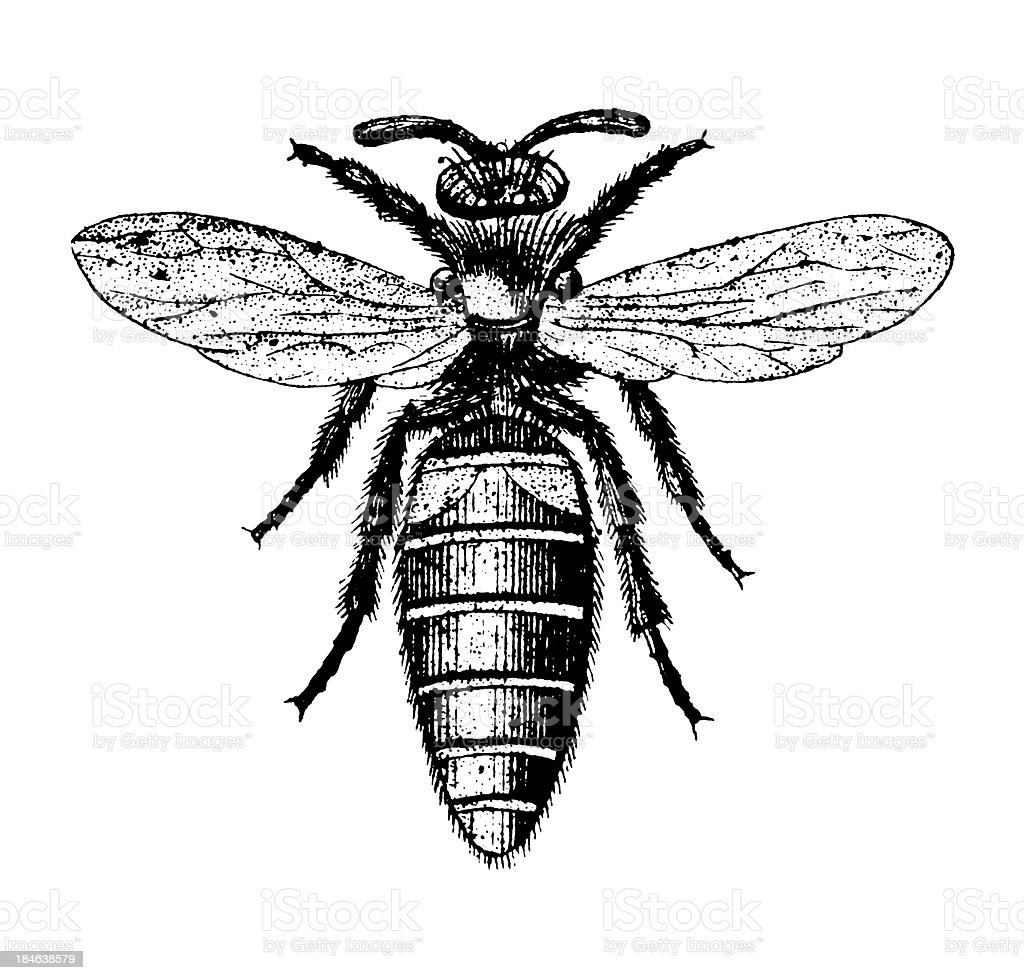 Western Honey Bee | Antique Insect Illustrations royalty-free stock vector art