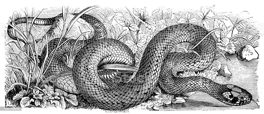 Western Whip Snake (Hierophis Viridiflavus) royalty-free stock vector art