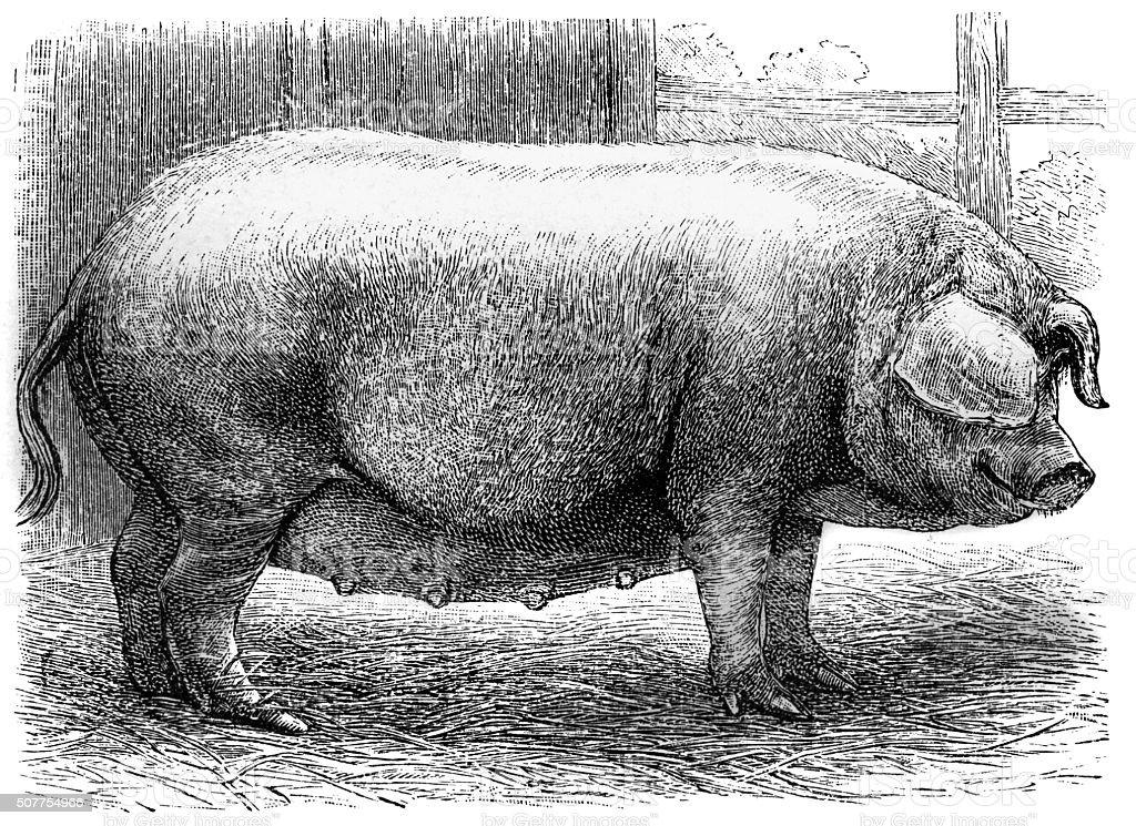 Westphalian pig vector art illustration