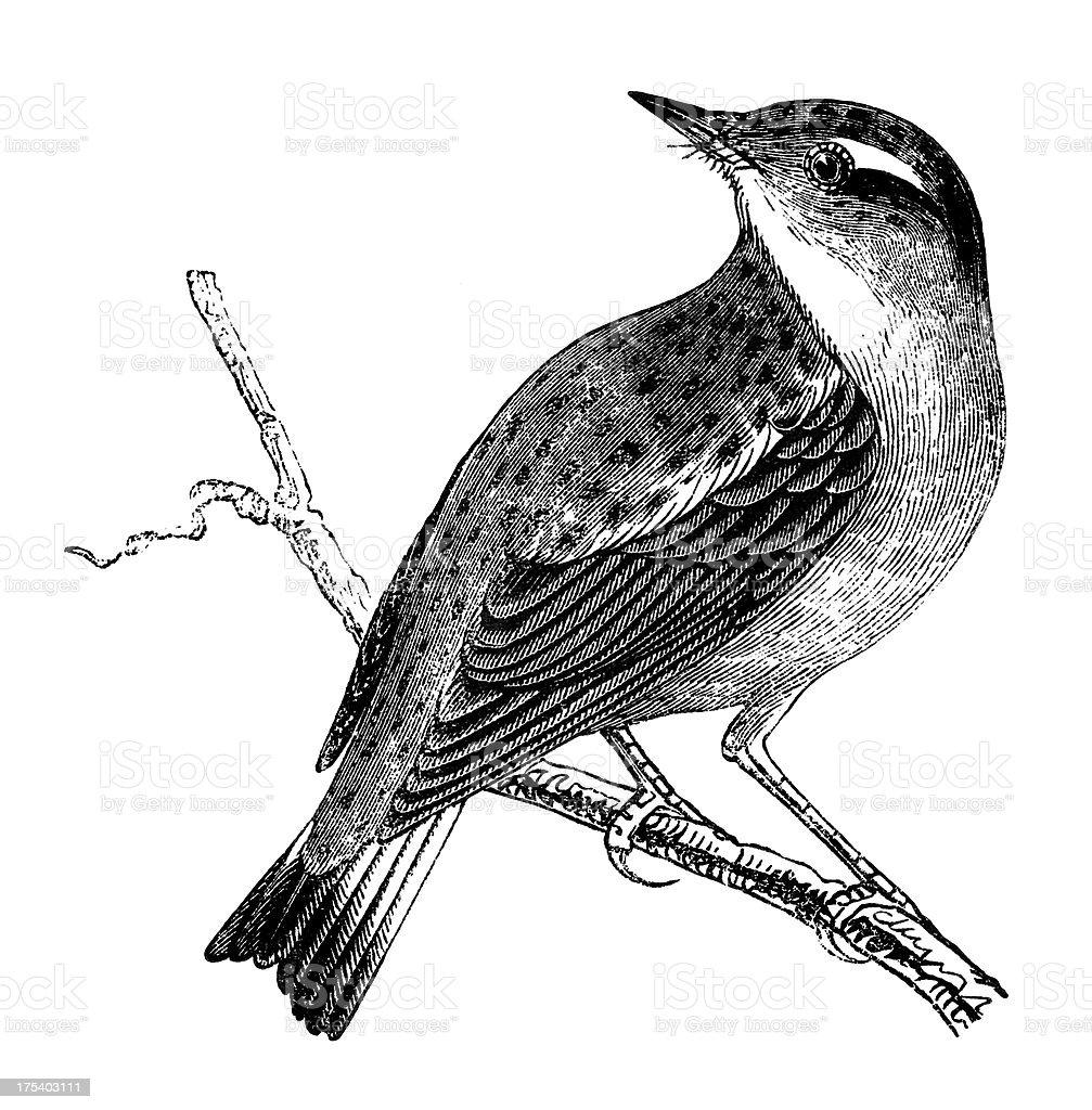 Whinchat vector art illustration