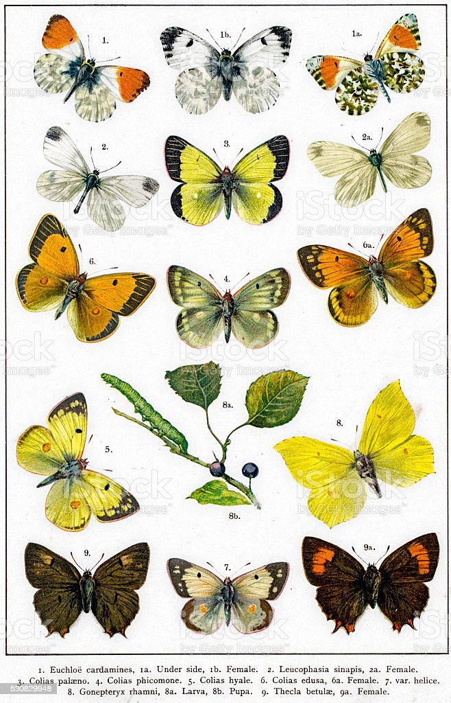 White and Yellow brimstones butterflies and larva vector art illustration