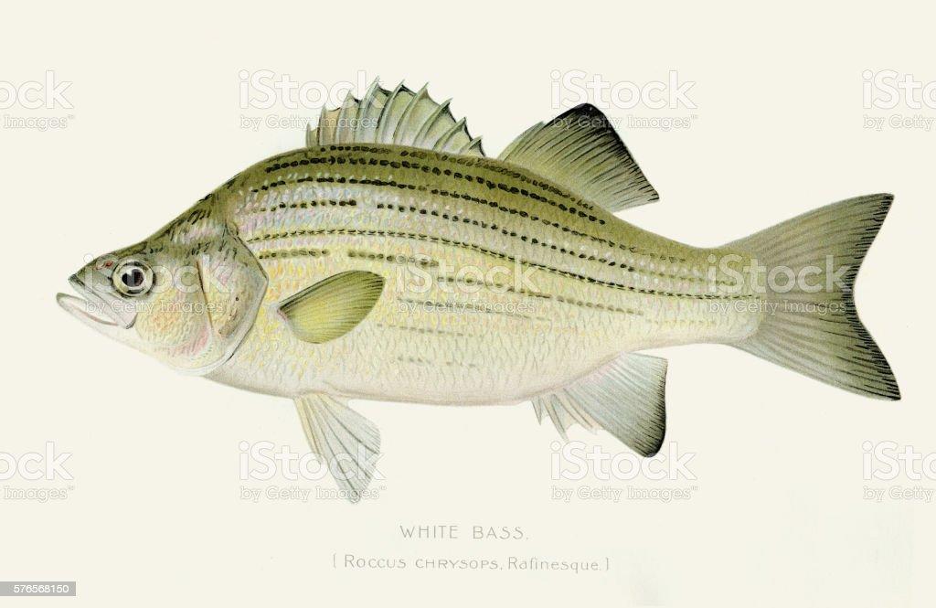 White bass illustration 1897 vector art illustration