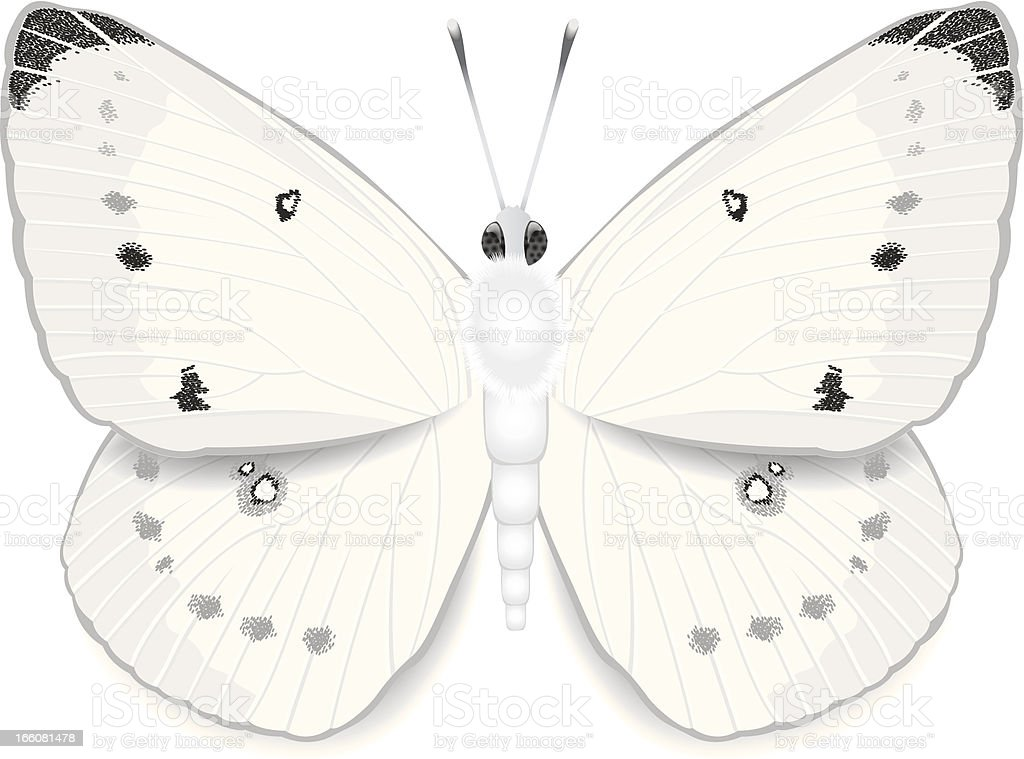 White Cabbage Butterfly royalty-free stock vector art