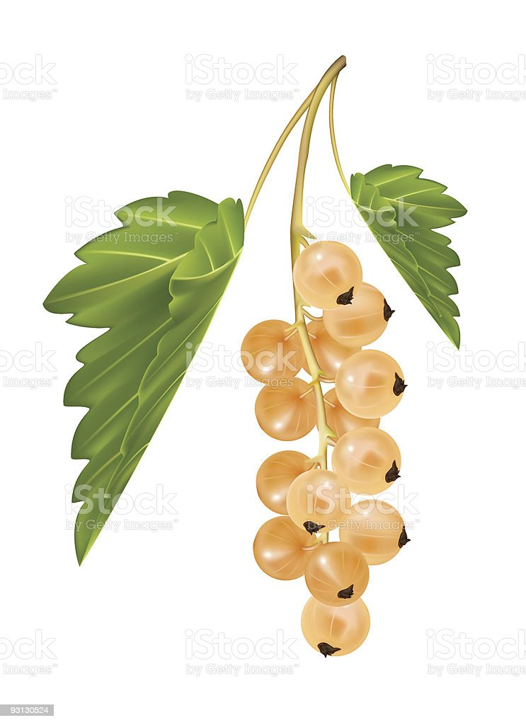 White currant. royalty-free stock vector art