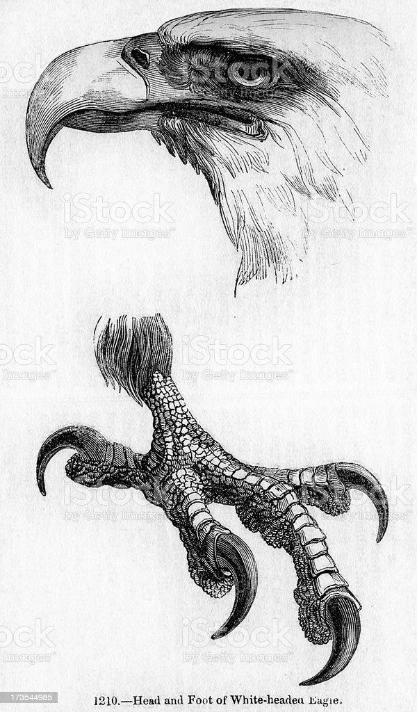 White headed Eagle vector art illustration