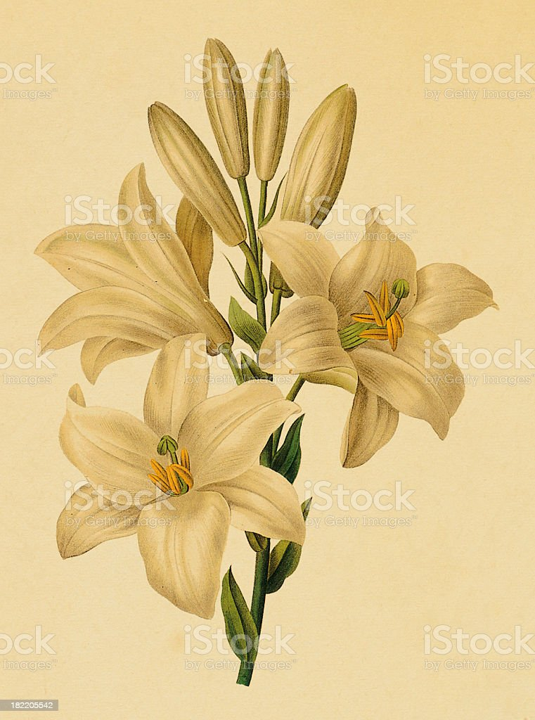 White lily   Antique Flower Illustrations vector art illustration