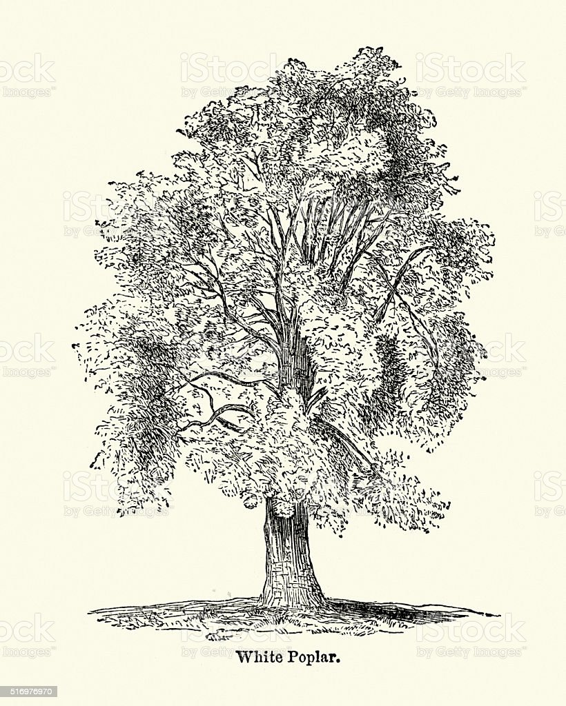 White poplar tree - Populus alba vector art illustration