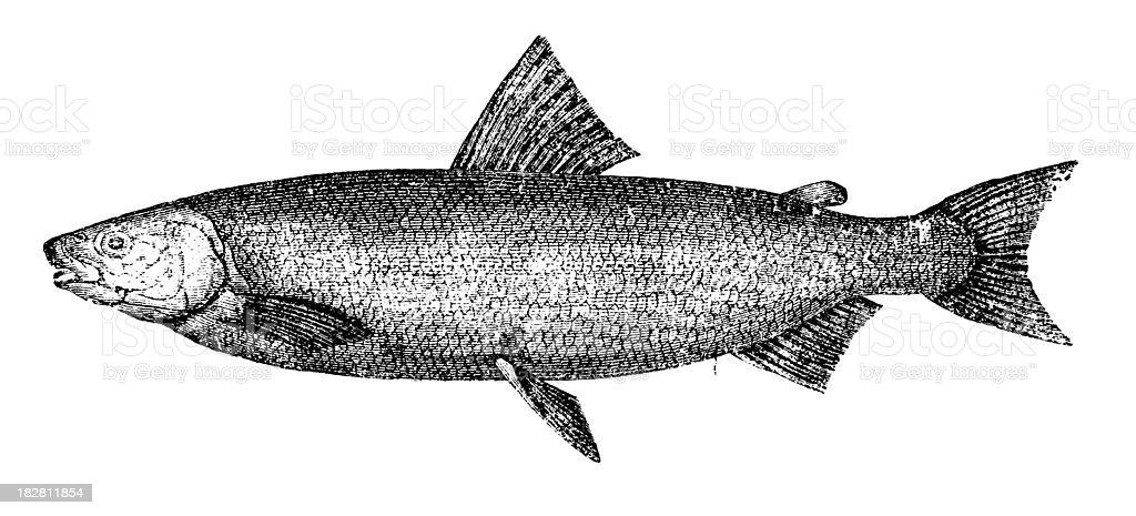 Whitefish   Antique Animal Illustrations royalty-free stock vector art