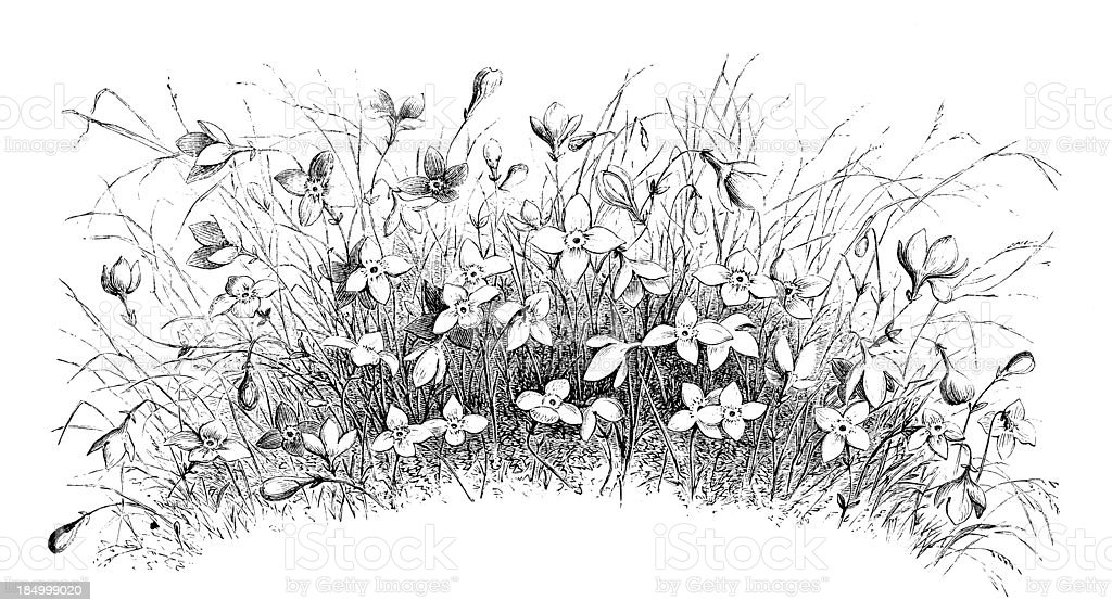 Wild Daffodils royalty-free stock vector art