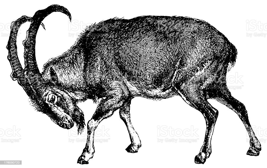 Wild goat | Antique Animal Illustrations vector art illustration