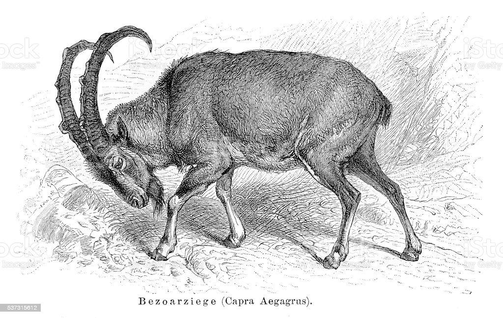 Wild goat engraving 1897 vector art illustration