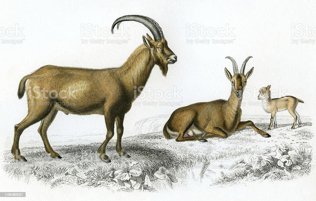 Wild goat, historic illustration, 1849 vector art illustration