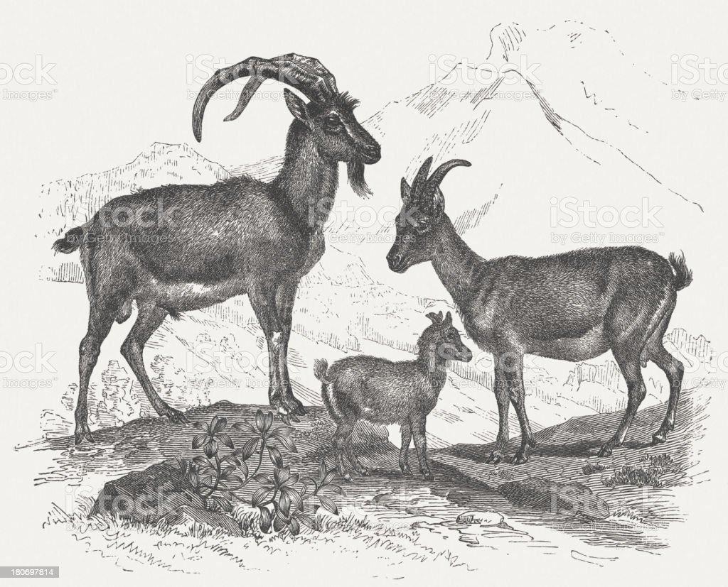 Wild goat (Capra aegagrus), wood engraving, published in 1875 vector art illustration