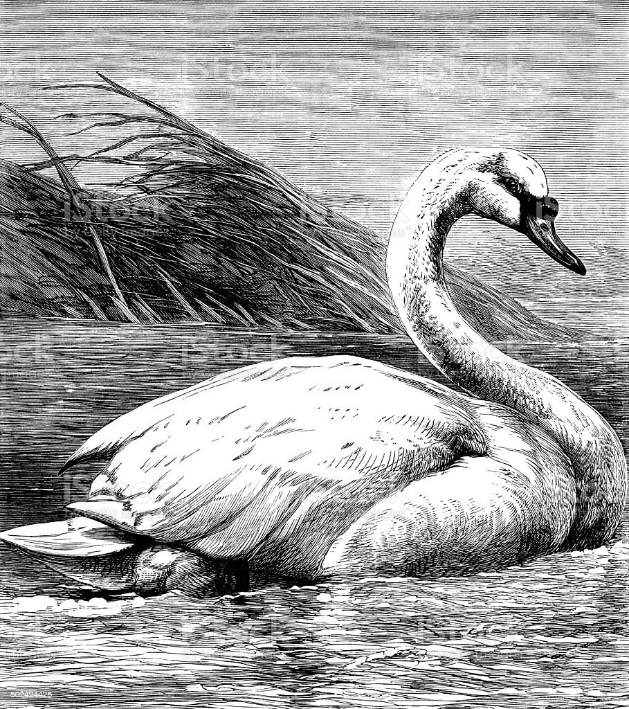 Wild male swan on a river vector art illustration