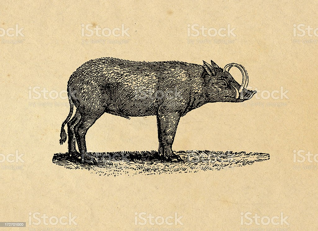 Wild pig royalty-free stock vector art