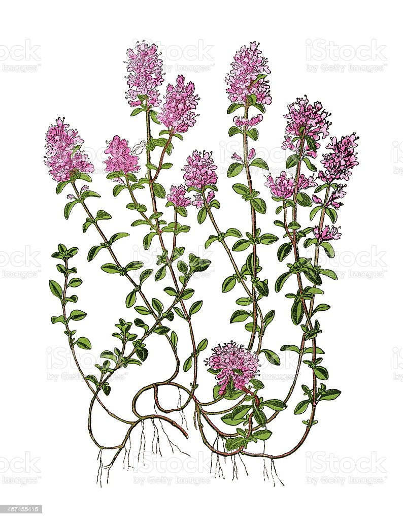 Wild thyme vector art illustration